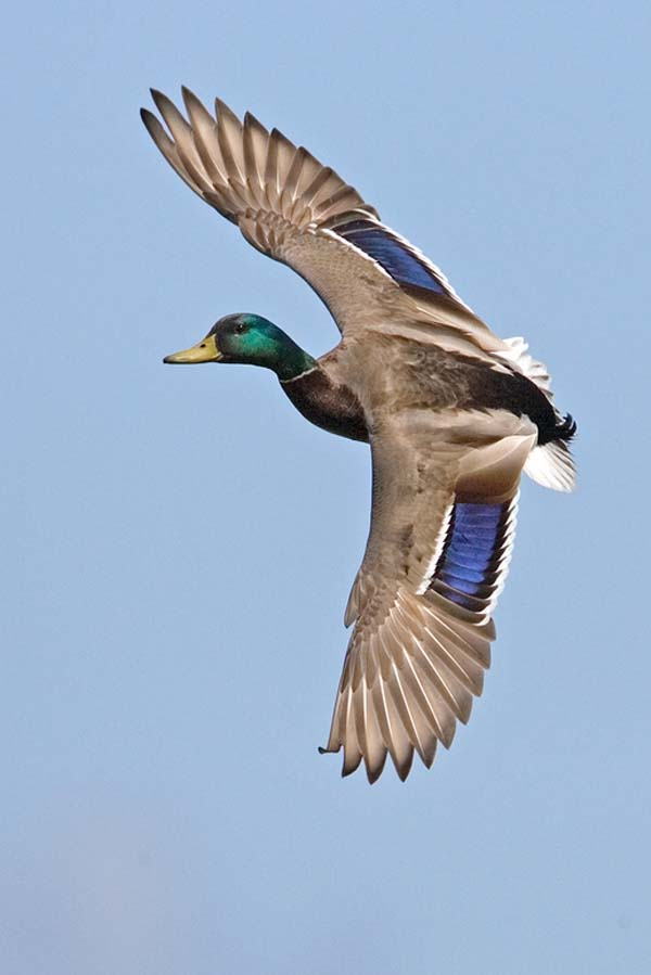 Mallard | Anas platyrhynchos photo