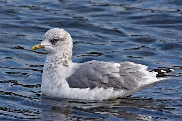 Mew Gull | Larus canus photo