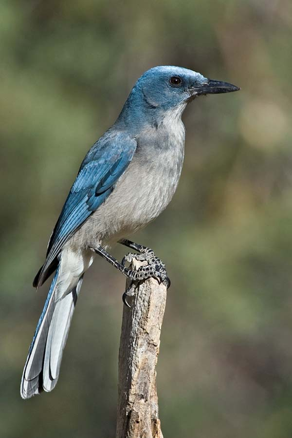 Mexican Jay | Aphelocoma ultramarina photo