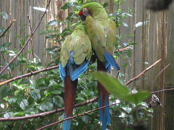 Military Macaw | Ara militaris photo