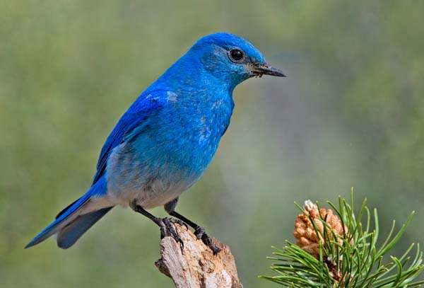 Mountain Bluebird   Sialia currucoides photo