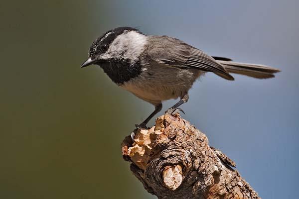 Mountain Chickadee | Poecile gambeli photo