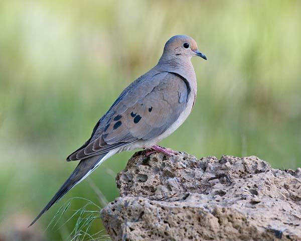 Mourning Dove | Zenaida macroura photo