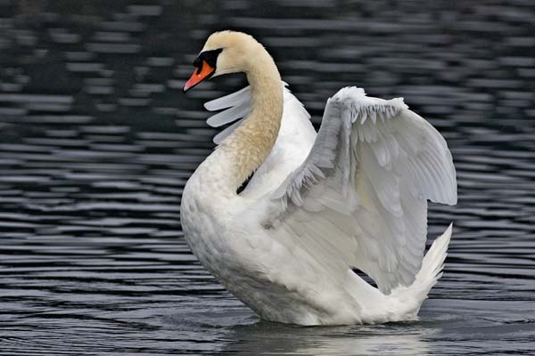Mute Swan | Cygnus olor photo