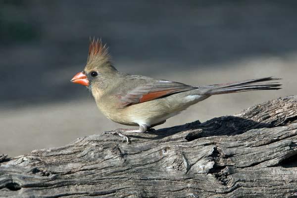 Northern Cardinal | Cardinalis cardinalis photo