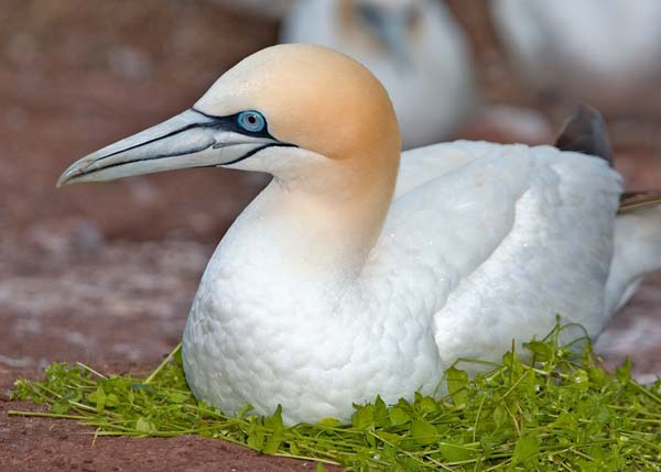 Northern Gannet | Morus bassanus photo