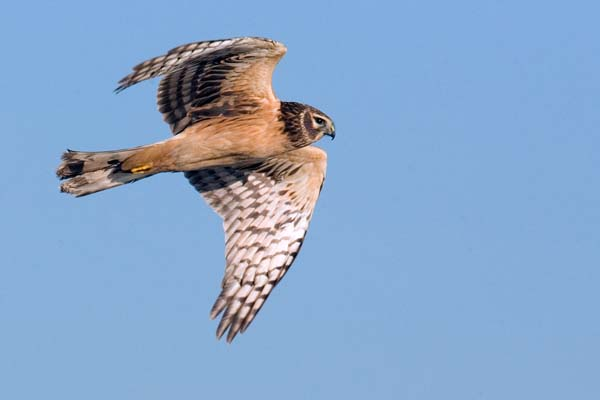 Northern Harrier | Circus cyaneus photo