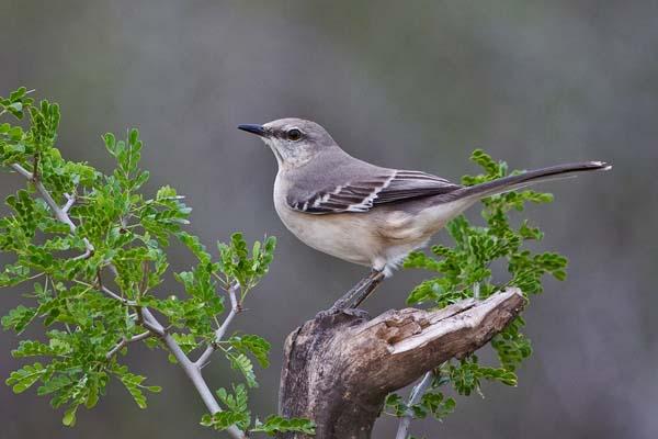 Northern Mockingbird | Mimus polyglottos photo