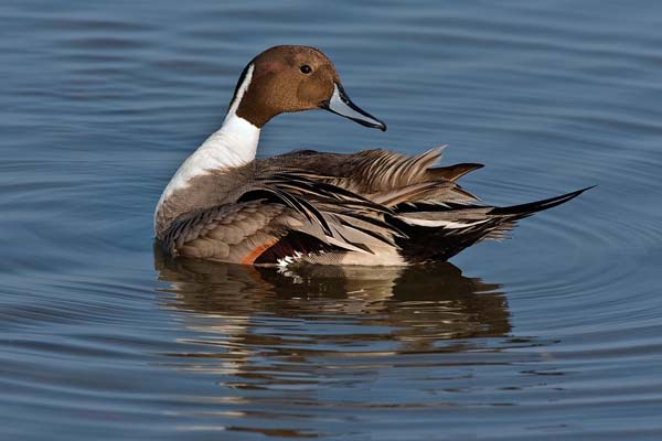 Northern Pintail | Anas acuta photo