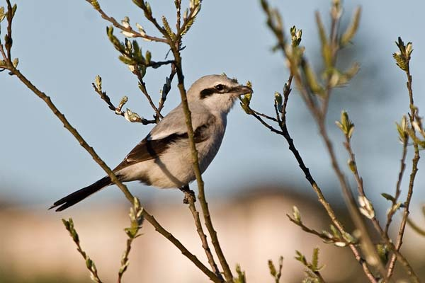 Northern Shrike | Lanius excubitor photo