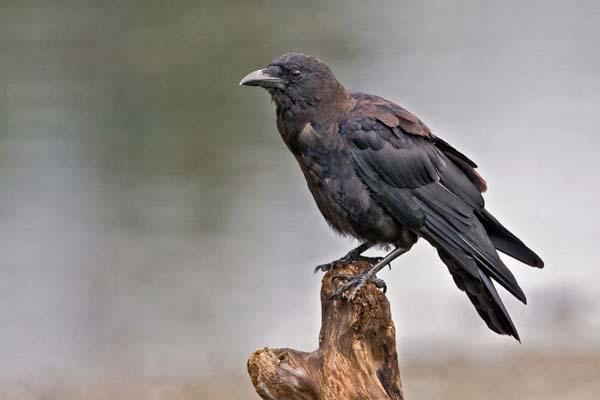 Northwestern Crow   Corvus caurinus photo