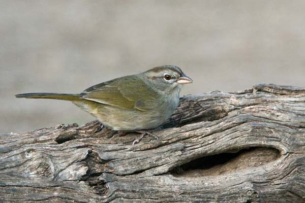 Olive Sparrow | Arremonops rufivirgatus photo