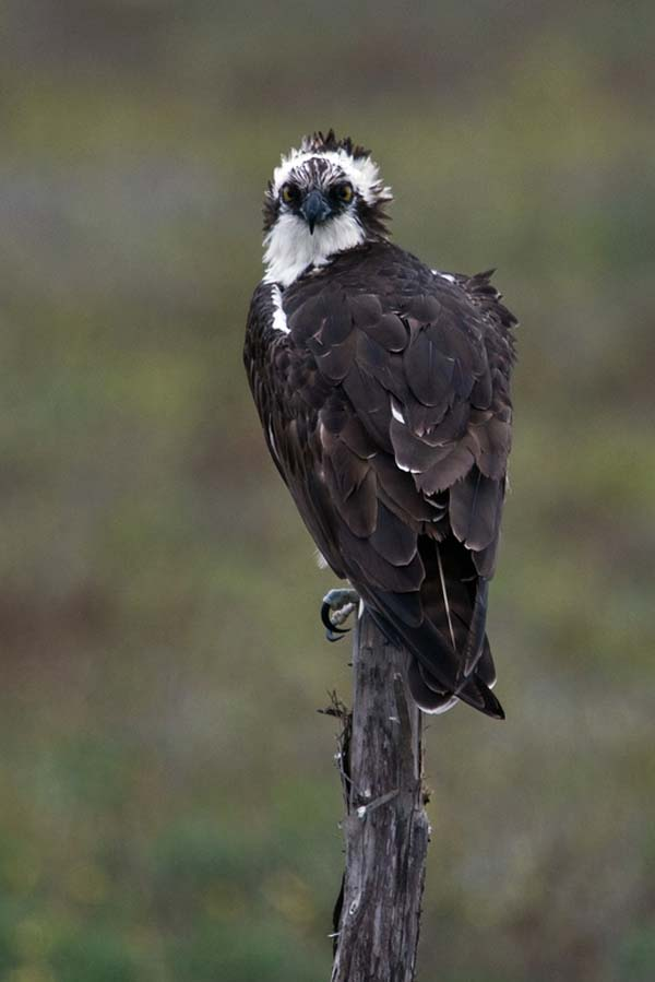 Osprey | Pandion haliaetus photo