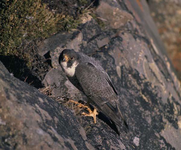 Peregrine Falcon | Falco peregrinus photo