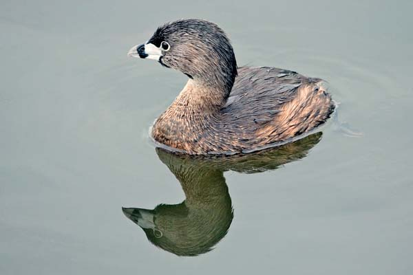 Pied-billed Grebe | Podilymbus podiceps photo