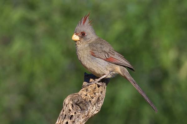 Pyrrhuloxia | Cardinalis sinuatus photo