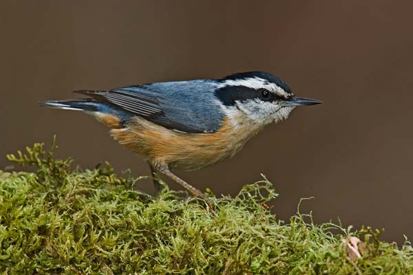Red-breasted Nuthatch   Sitta canadensis photo