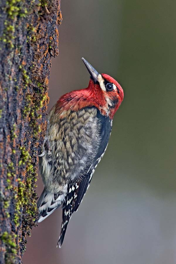 Red-breasted Sapsucker | Sphyrapicus ruber photo