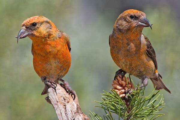 Red Crossbill | Loxia curvirostra photo