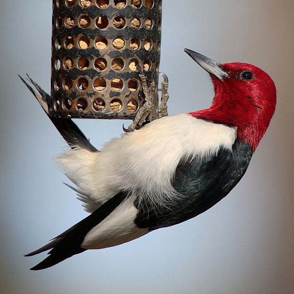 Red-headed Woodpecker | Melanerpes erythrocephalus photo