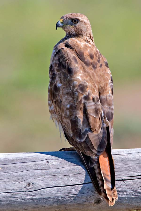 Red-tailed Hawk | Buteo jamaicensis photo