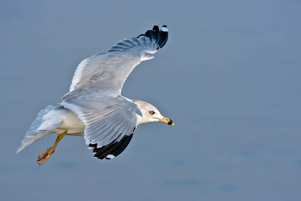 Ring-billed Gull | Larus delawarensis photo