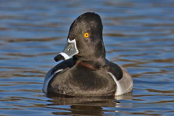 Ring-necked Duck | Aythya collaris photo