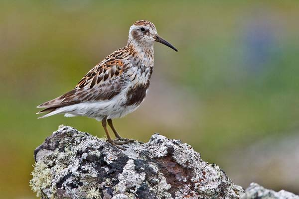 Rock Sandpiper | Calidris ptilocnemis photo