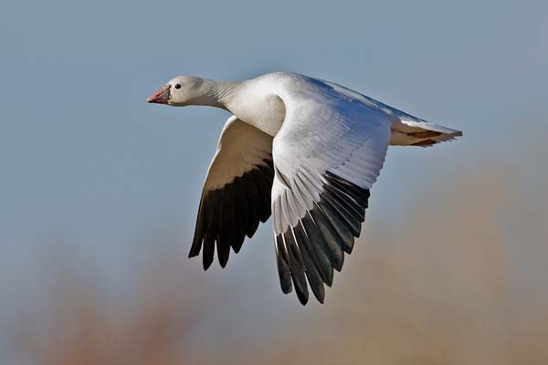 Ross's Goose | Chen rossii photo