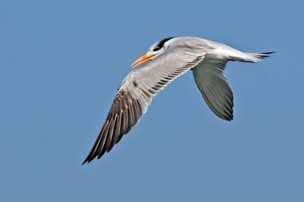 Royal Tern | Thalasseus maximus photo