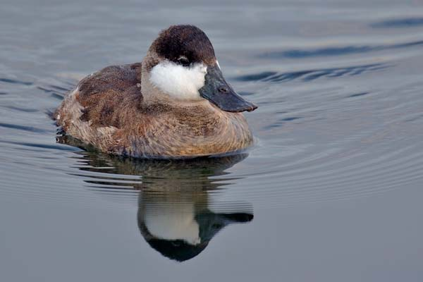 Ruddy Duck | Oxyura jamaicensis photo