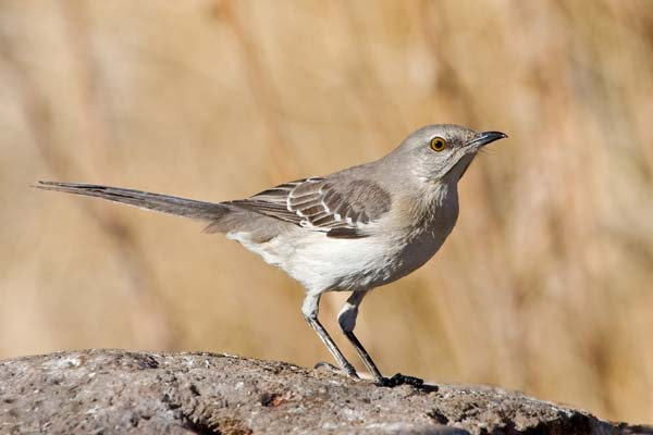 Sage Thrasher | Oreoscoptes montanus photo