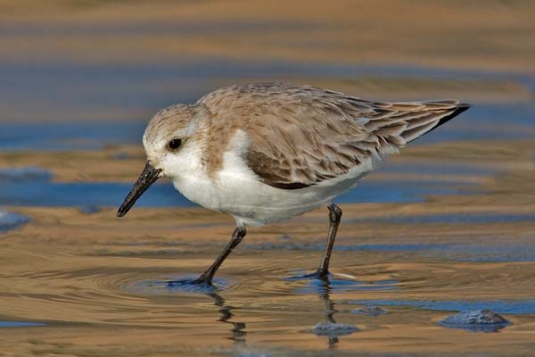 Sanderling | Calidris alba photo