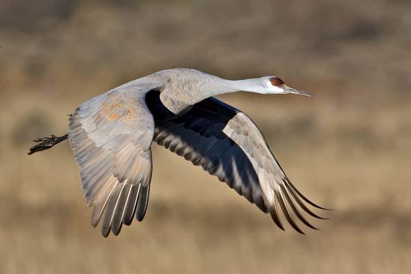 Sandhill Crane | Grus canadensis photo