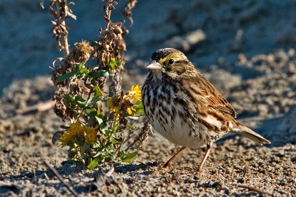 Savannah Sparrow | Passerculus sandwichensis photo