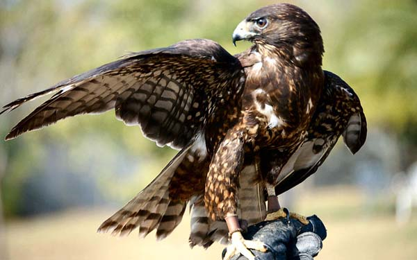 Short-tailed Hawk | Buteo brachyurus photo