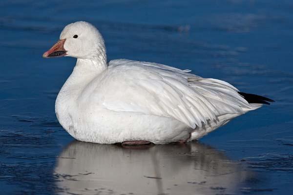 Snow Goose | Chen caerulescens photo