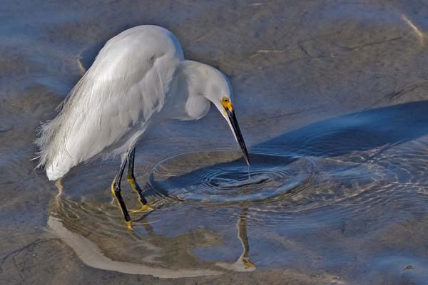 Snowy Egret | Egretta thula photo