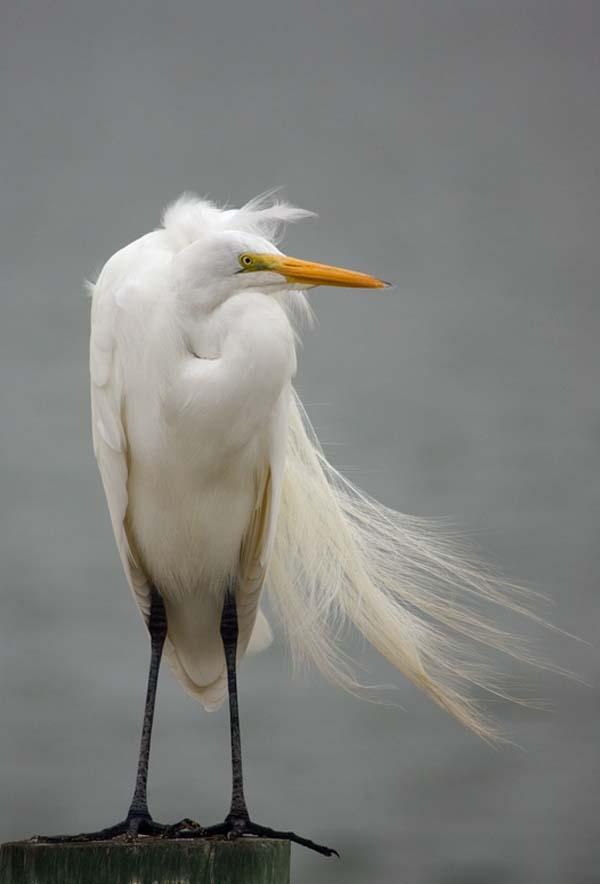 Snowy Egret | Egretta thula photo