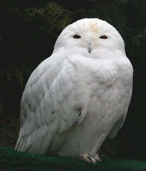 Snowy Owl | Bubo scandiacus photo