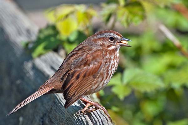 Song Sparrow | Melospiza melodia photo