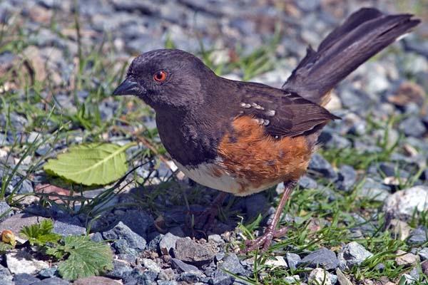Spotted Towhee | Pipilo maculatus photo