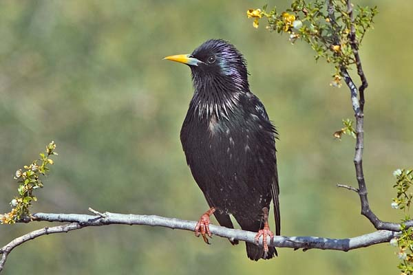 European Starling | Sturnus vulgaris photo