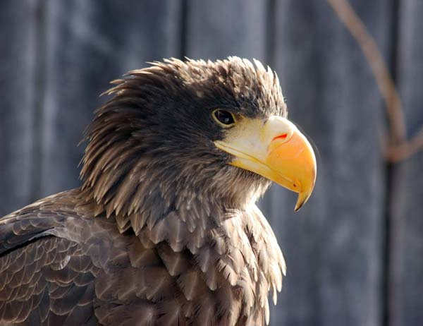 Steller's Sea-Eagle | Haliaeetus pelagicus photo