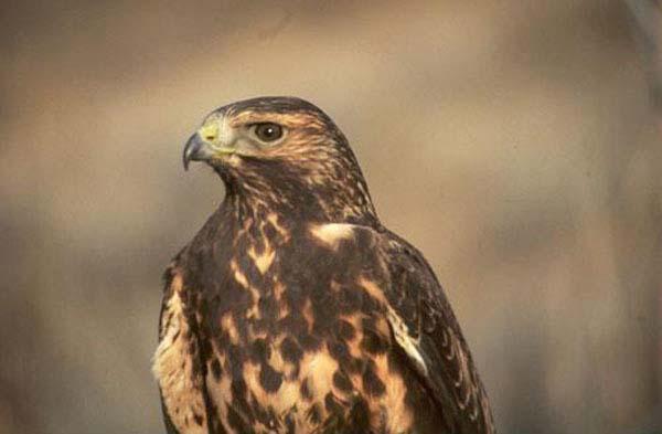 Swainson's Hawk | Buteo swainsoni photo