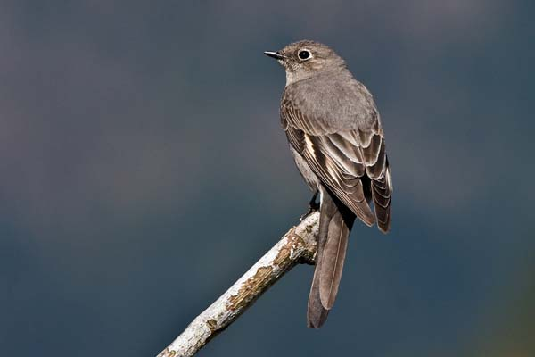 Townsend's Solitaire | Myadestes townsendi photo