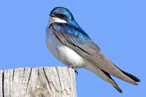 Tree Swallow | Tachycineta bicolor photo