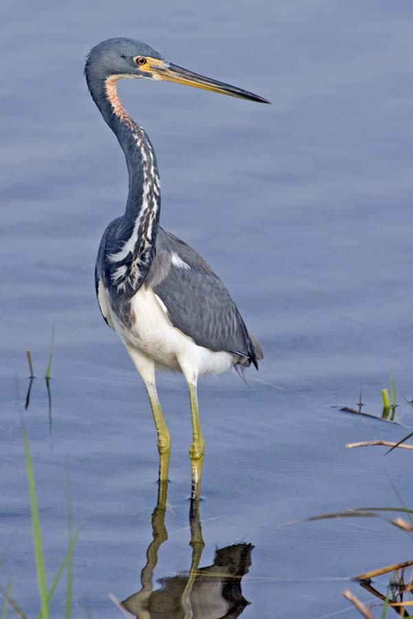 Tricolored Heron | Egretta tricolor photo