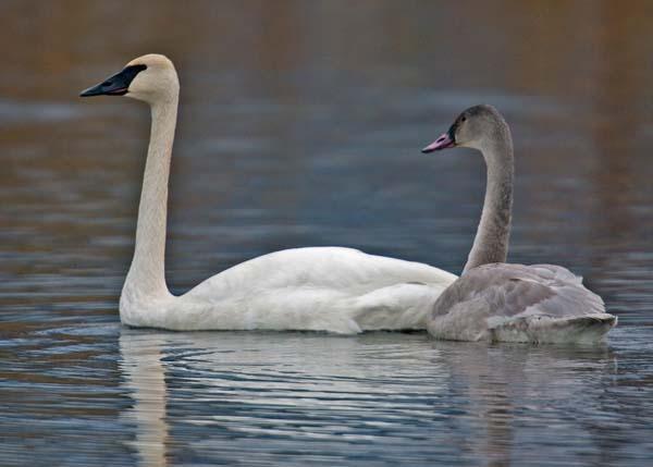 Trumpeter Swan | Cygnus buccinator photo