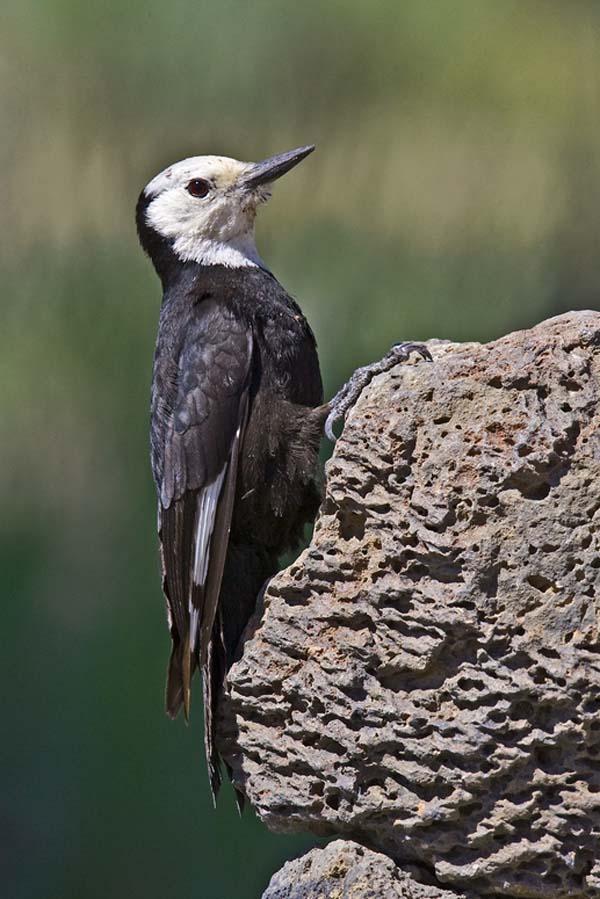 White-headed Woodpecker | Picoides albolarvatus photo